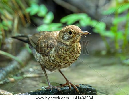 Juvenile Blackbird In The Forest