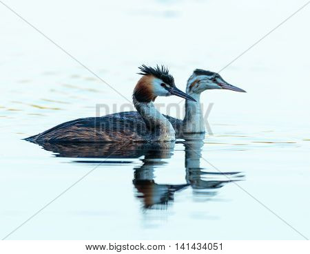 Great Crested Grebe Adult And Juvenile