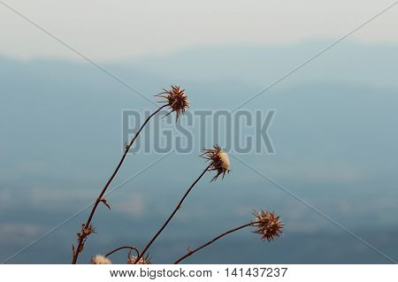 Blessed milk thistle dried flower in late summer time