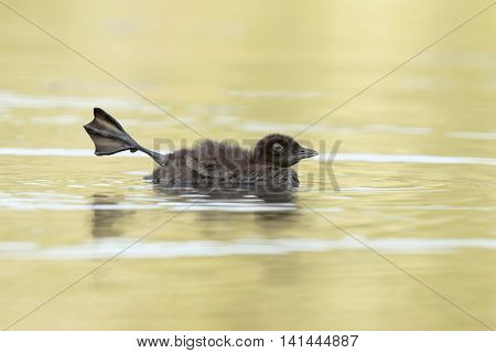 Common Loon Chick Stretching Its Leg