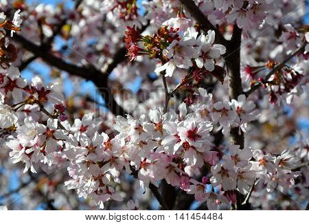 Cherry flowers Sacura on sky background in springtime