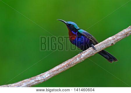 Copper Throated Sunbird