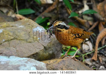 Eared Pitta Bird