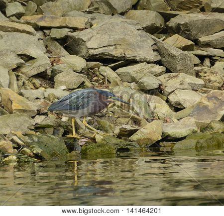 A Green Heron (Butorides Virescens) stalking along a lakeshore in a search for food.