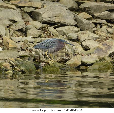 A Green Heron (Butorides Virescens) searching for food along a rocky lakeshore in York County Pennsylvania, USA.