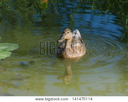 Wild Duck In The Pond