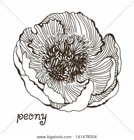 Decorative flower of peony isolated on white background vector illustration