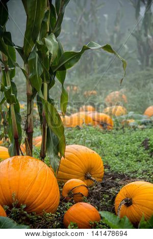 Foggy morning in the pumpkin patch.  Corn stalks & pumpkins.