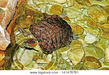 Nice turtle in the water (close up)