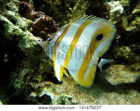 yellow white fish,  Butterfly Fish , fish,