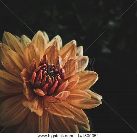 High Contrast And Stylized Macro Image Of A Wet Blooming Orange Dahlia Flower With Copy Space
