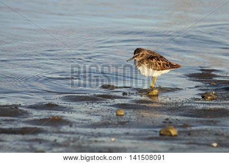 A Western Sandpiper paused among pebbles along the shore of the Pacific Ocean in California.