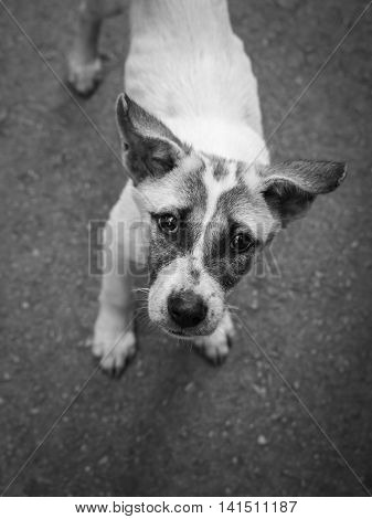 Close-up image of starveling puppy appeal a signal 'Do you have some food for me?' from this eyes. Stray dog. Black and white tone
