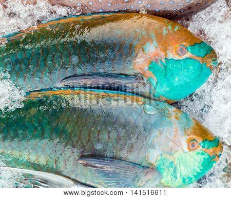 Big Parrotfish