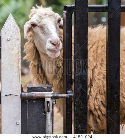 White sheep, a flock of sheep, farm animals, cloven-hoofed livestock