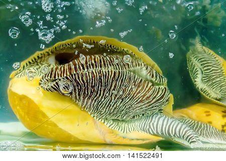 Shells Atlantic Triton Trumpet Mollusk