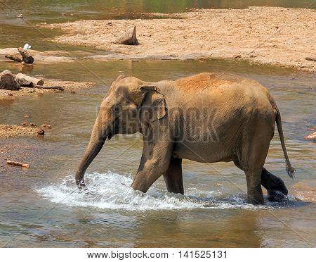 Asia Elephant Bath In River Ceylon, Pinnawala