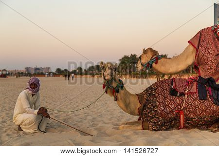 DUBAI UAE - JANUARY 26: Camel lay and Bedouin in Dubai Marina beach sand United Arab Emirates Dubai UAE circa January 2016