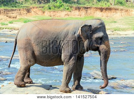 Asian Young Elephant Sri Lanka, Ceylon