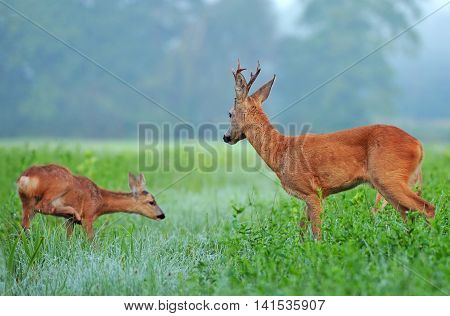 Wild roe deer and roe deer cub in a field