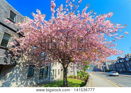ABERDEEN SCOTLAND - 11 MAY 2016 : Beautiful Sunny Day in Aberdeen City with Cherry Blossom. Aberdeen is the oil capital city of Europe.