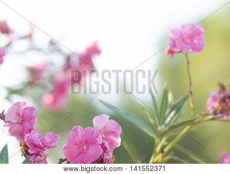 Oleander bush. Bright pink oleander flowers. Nerium oleander tree in blossom.