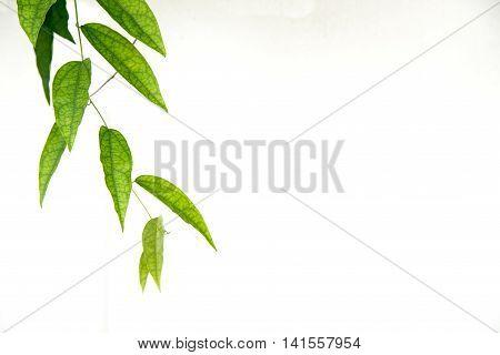 Green Leaf Of Vine