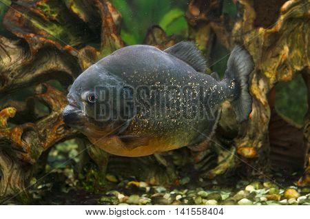 A photo of a piranha fish in an aquarium.