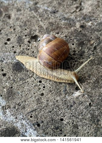 Burgundy snail (Helix, Roman snail, edible snail, escargot) crawling on the concrete