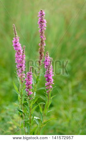 Closeup of purple pink blossoming Purple Loosestrife or Lythrum salicaria plants in a Dutch nature reserve early in the morning of a sunny day in the summer season.