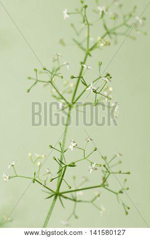 Galium album flowers over green background closeup
