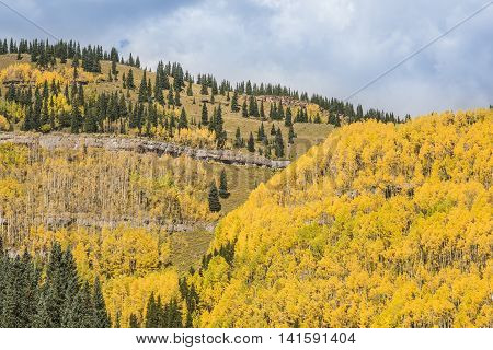 Golden aspen and pine trees forest in the San Juan Mountains in Colorado during fall