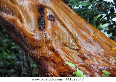 interesting beautiful trunk of Arbutus andrachne or Greek Strawberry Tree closeup