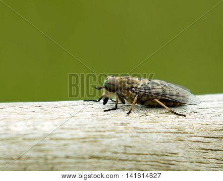 Close-up of biting Band-eyed Brown Horse-fly showing its rainbow-coloured eye and single stripe.