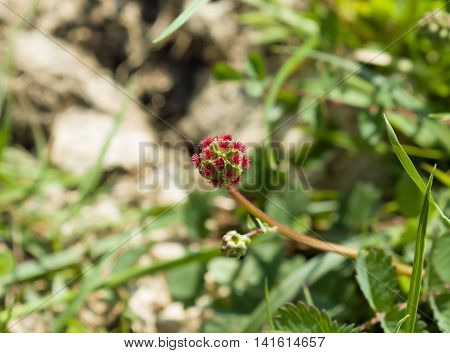 Small red wild flower Salad Burnet growing on chalk downland at Devils Dyke in Sussex.