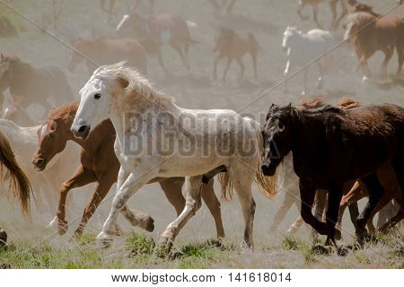 White horse leads herd during dusty trail drive roundup