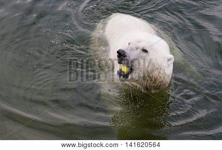 Polar bear in a water eating an apple in Finiash Lapland