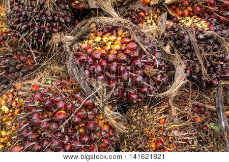 Fresh fruit of the oil palm on the tree (elaeis guineensis)