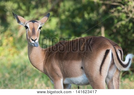 A Female Impala (aepyceros Melampus) Sticking Out Her Tongue