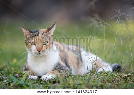 A Grumpy Looking Tri Colored House Cat Lying In Grass
