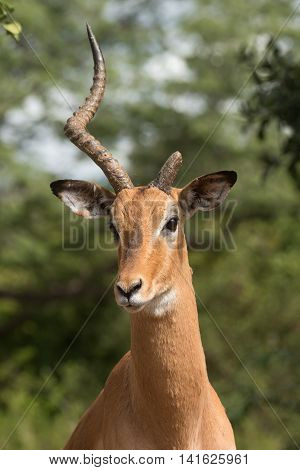 A Portrait Of A Male Impala (aepyceros Melampus) Missing One Horn