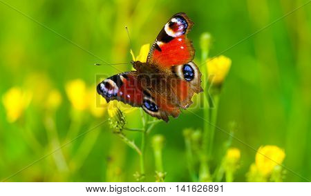 peacock butterfly sitting on yellow flowers in the field, green grass and yellow flowers in the background