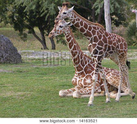 two young sibling giraffes.