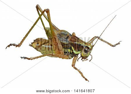 A close up of the grasshopper (Locust). Isolated on white.