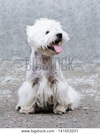 West highland terrier dog sitting over blurry grey background