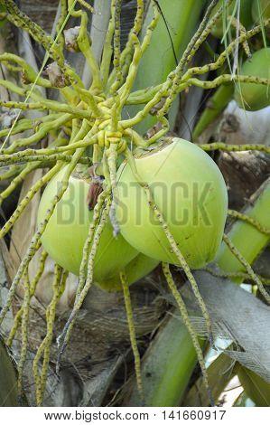 close up coconut tree in garden , Cocos nucifera