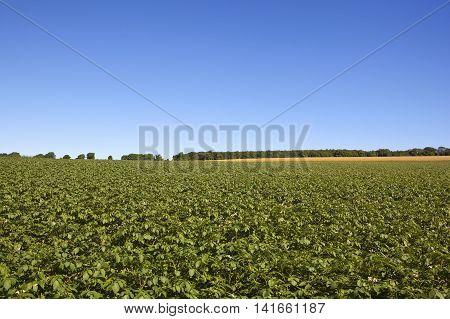 Potato Crop In Summer