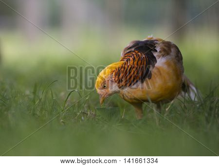 Close up of a male yellow golden pheasant (Chrysolophus Pictus Mut Luteus) on green grass with low depth of field