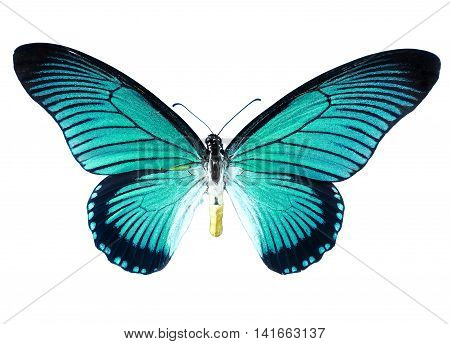 Papilio Zalmoxis, bold blue birdwing, isolated on White. Turquoise butterfly.