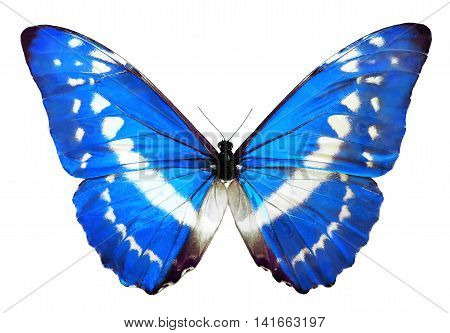 Blue morpho Helena butterfly, isolated on White. Blue butterfly with shiny wings.